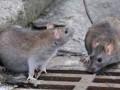 نبرد دانش بنیان با موش های شهری