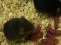 تولد بچه موشهای سالم بدون نیاز به تخمک و تنها با اسپرم - روژان